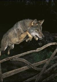 Na foto premiada, um lobo ibérico salta o portão de uma fazenda na Espanha