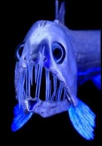 Peixe-víbora pode viver a 11 mil metros de profundidade