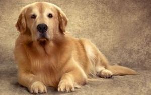 Golden retriever Jorge, cão da apresentadora Adriane Galisteu (julho/2010)